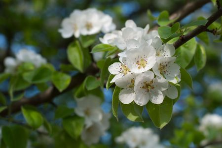 Flowering apple-tree on a  background sky Stock Photo