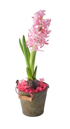 A  hyacinth is in a  decorative bucket