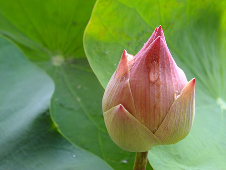 Roseum Plenum Lotus, the symbol of  respect to the Buddha photo