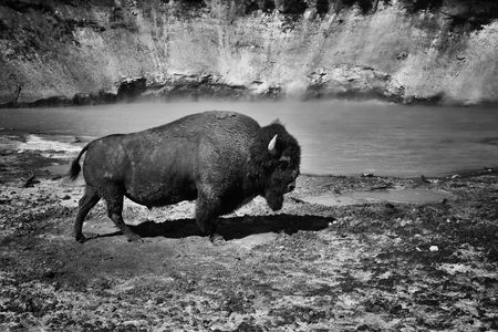 yellowstone: Bison in Yellowstone