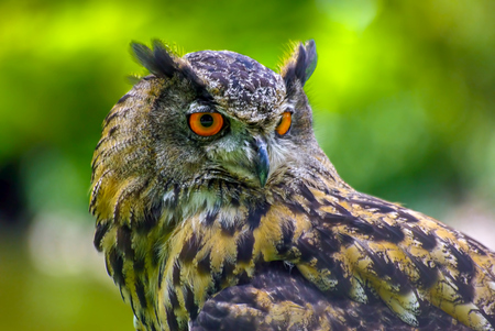 The tawny owl or brown owl (Strix aluco) is a stocky, medium-sized owl commonly found in woodlands across much of Eurasia