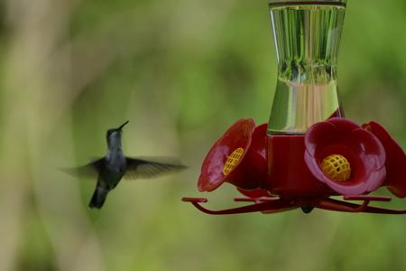 Hummingbird in for the landing. Stock Photo