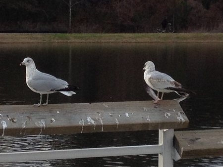 Two sea gulls looking for free food.