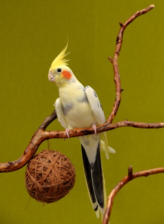 cockatiel resting on a branch