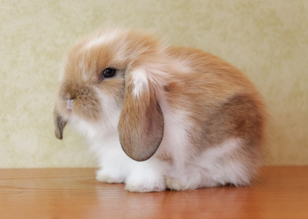 cute lop eared baby rabbit Stock Photo - 17429221