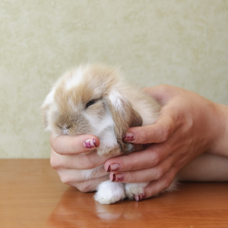 cute lop eared baby rabbit photo