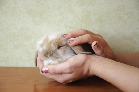 cute lop eared baby rabbit Stock Photo - 17429220