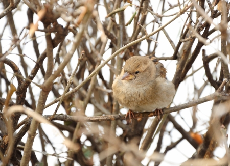 sparrow sitting on bush in winter photo