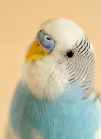 closeup, portrait of a bidgie