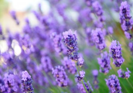 lavandula angustifolia: lavender flowers - beauty background