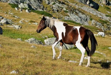 wild horse grazing on alpine grassland