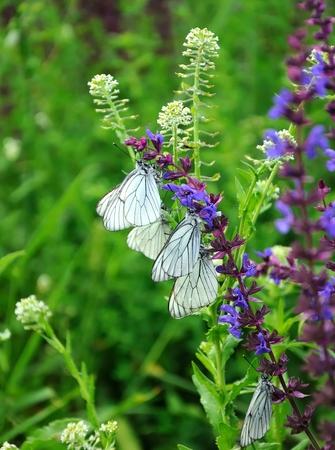 white bytterflies,  Aporia crataegi photo