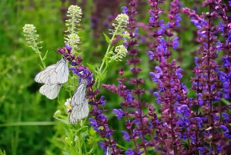 white bytterflies,  Aporia crataegi Stock Photo