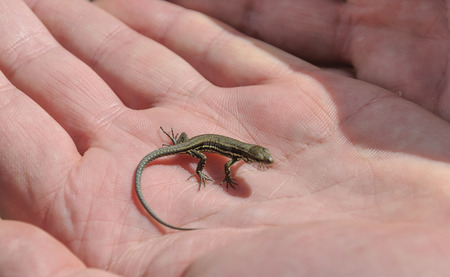 lacertidae: baby lizard Lacerta agilis in human hand Stock Photo