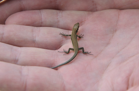 lacerta: baby lizard Lacerta agilis in human hand Stock Photo