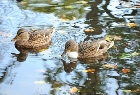 two female wild ducks swimming in lake