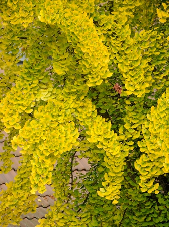 autumnal ginkgo biloba  tree with yellow leaves Stock Photo