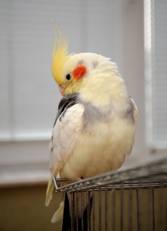 cockatiel resting on his cage