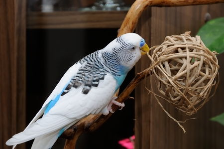 budgerigar perched on dry branch Stock Photo
