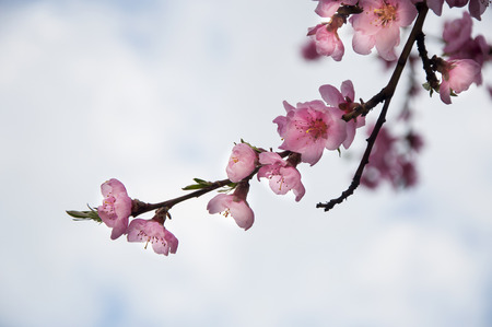 Pink japan cherry blossom on cloudy background