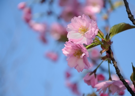 Pink japan cherry blossom, blue sky in background