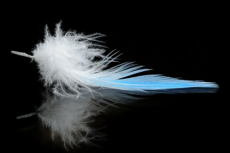 budgierigar feather on black reflective background