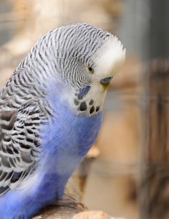 blue budgie resting in voliere