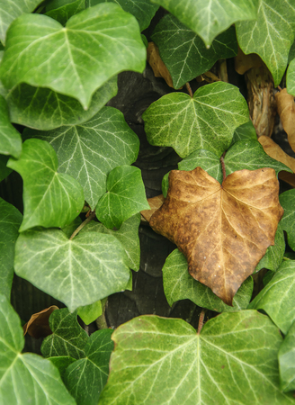 close up of ivy plant with dry and green leaves