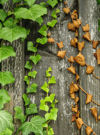 creeping ivy with green and dry leaves Stock Photo