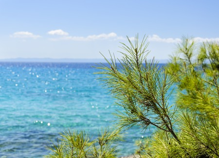 beautiful sea view with Pine branches in the foreground