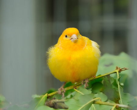 yellow canary bird resting on a branch