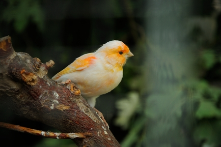 canary bird perched on a branch in the aviary