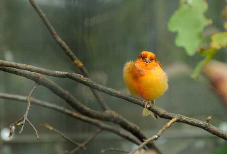 aviary: canary bird perched on a branch in the aviary