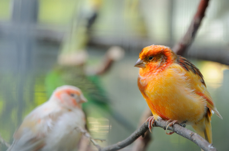 two canaries  perched on a branch in the aviary Stock Photo
