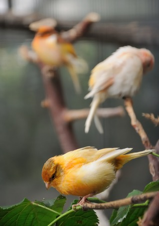 canaries perched on a branches on an aviary