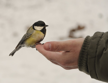 Great tit sits on hand and eats seeds