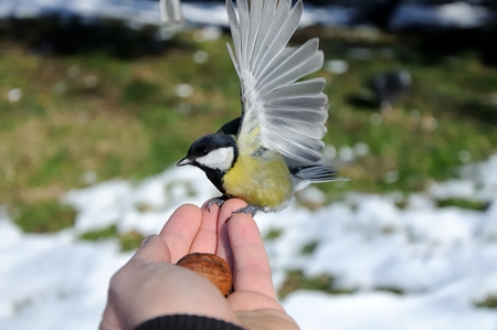 Great tit sits on hand
