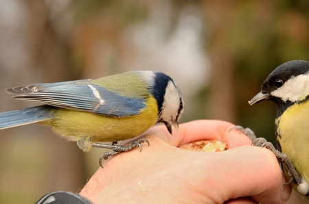 blue tit  and great tit eating seeds from hand Stock Photo