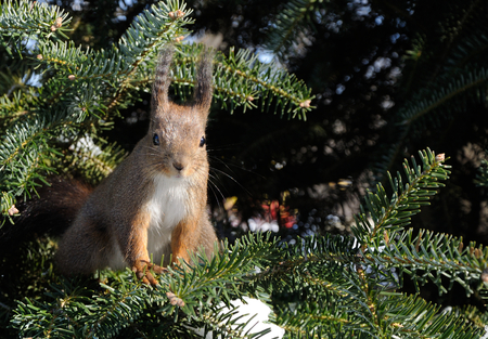 squirrel sits on the pine tree and looking photographer