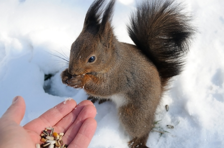 squirrel sits on the snow and chews nuts from hand