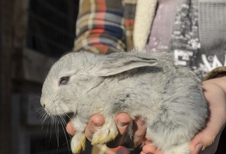baby grey rabbit in human hands close up
