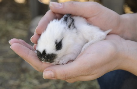 white Baby bunny with black nose in lady hands