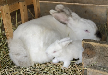 white baby bunny with his mother in a hutch