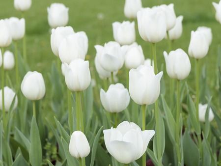 city graden with beutiful white tulips Stock Photo