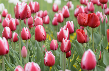 city graden with beutiful red tulips