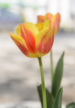 two beutiful tulips, shallow depth of field Stock Photo