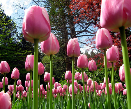 Field of Pink Tulips from Ground Level with Parallel Stalks