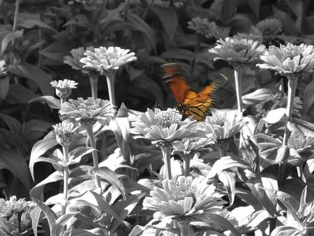 Monarch Butterfly w dziedzinie B & W Kwiaty