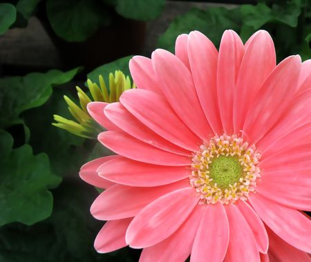 Pink gerber daisy closeup with blurry green background