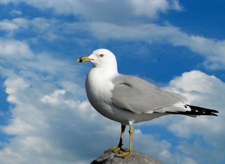One seagull perched on a rock with blue sky background